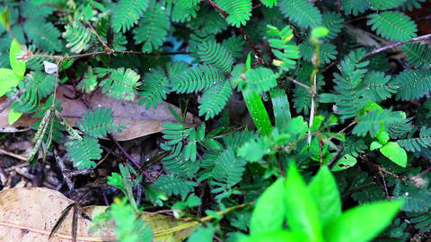 shy plant: mimosa pudica Stock Video Footage