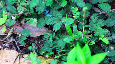 shy plant: mimosa pudica Footage