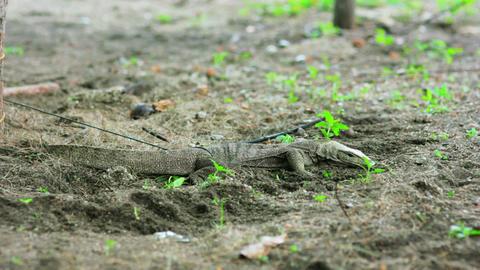 lizard in forest Footage