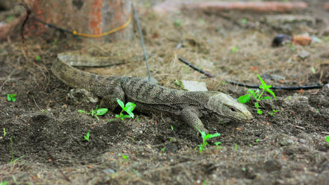 lizard in forest Footage