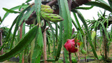 Exotic Dragon Fruit Garden stock footage