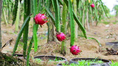 exotic dragon fruit garden Stock Video Footage