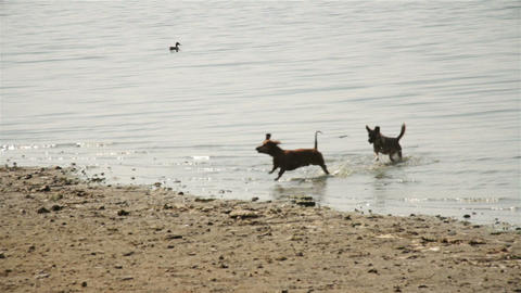 Two dogs are playing in water Footage