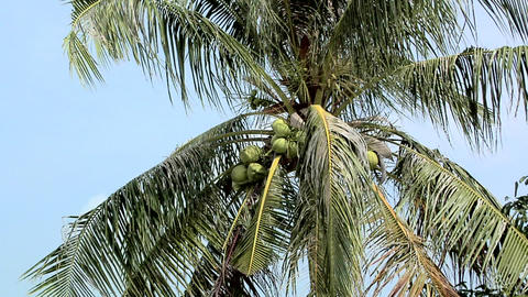 Coconuts growing in the Palm Tree ビデオ