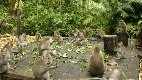 Wild monkeys are eating in Monkeyforest, Ubud, Bali, Indonesia Footage