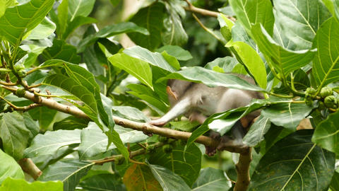 Close up baby Macaque monkey eating in tree at Monkeyforest, Ubud Footage