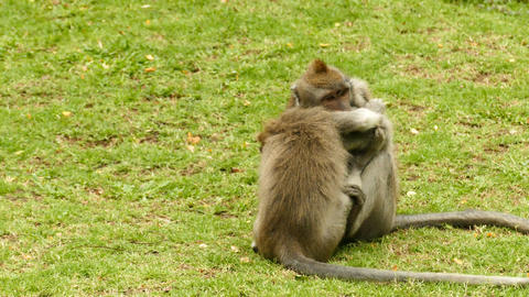 Two Macaque monkeys playing on grass at Monkeyforest in Ubud Live Action