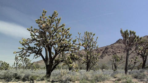 Yoshua Trees near Cima, California Live Action