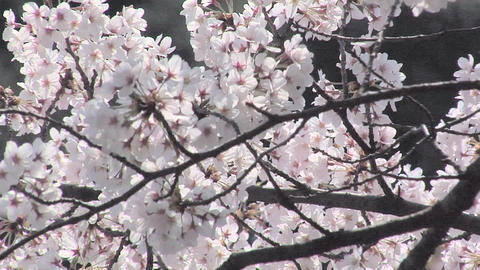 Cherry Blossoms at Chidorigafuji with the Entrance to the Budokan Live Action