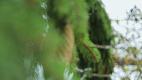 Green Tree. Pine Cone. Green Branch stock footage