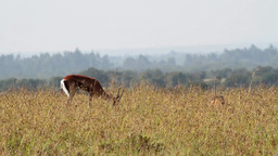 Thompson gazelle in Kenya Footage