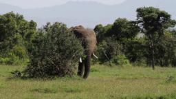 African Elephant hides behind bush Footage