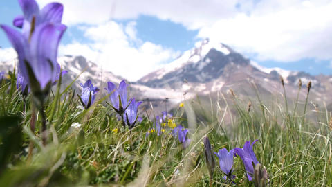 closeup of mountain flowers sway in the wind on a background of mountain peaks Footage