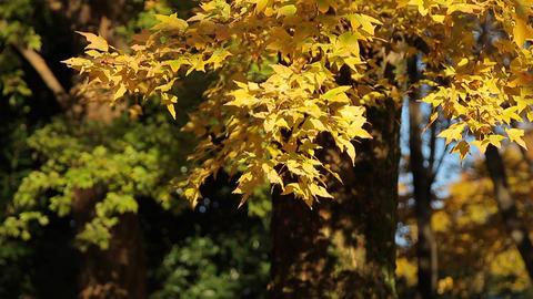 Autumn Leaves / Fall Colors / Yellow - Fix ビデオ