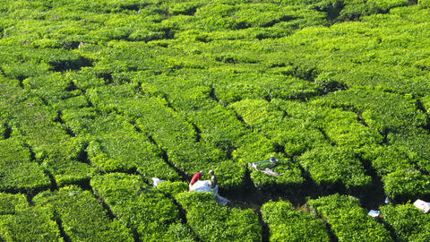Workers harvesting tea leaves in tea farm, Cameron Highlands, Malaysia, Asia Footage