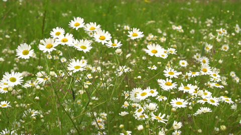 Camomile flowers sway in the wind. Slow motion shot Footage