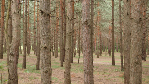 Walking among pine trunks. One lost his way in a forest. POV shot Live Action