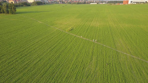 Aerial view of people walking on small path in green farming field. Drone shot Footage