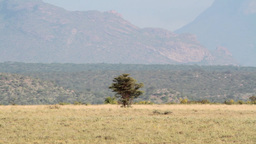 Acacia tree from Kenya Footage