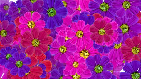 4k Daisy wedding background,wildflower flower plant bloom pattern,vitality Footage