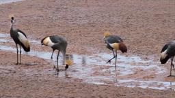 Crowned crane near water from Kenya Footage