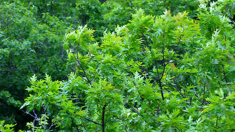 Northern Red Oak (Quercus rubra) Footage