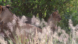 Lions In Kenya Safari stock footage