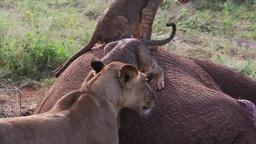 Lion cubs on a carcass of an elephant Footage