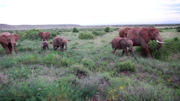 African Elephants from Kenya Footage