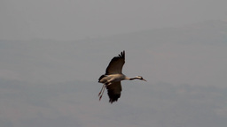 Common Crane landing in the field Footage