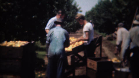 1946: Orange fruit field harvesting sorting center boxing up good ones Footage