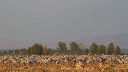 Common Crane flock in the field Footage