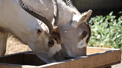 Slow motion of scimitar horned oryx eating food inside a farm Live Action