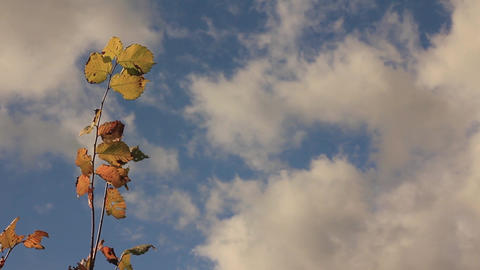 A branch of hazel with yellowing leaves and a blue sky with cumulus clouds ビデオ