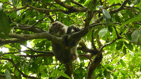 Macaque monkey in tree in Monkeyforest, Ubud, Bali Live Action