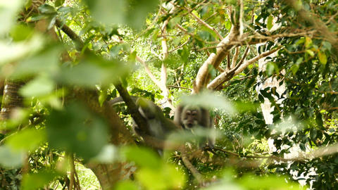Macaque monkey fight with each other in tree, Ubud, Bali Footage