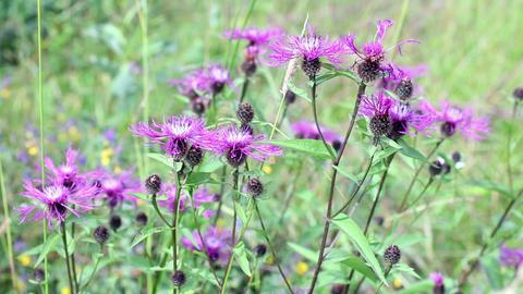 bright purple flowers of wild thistle Footage