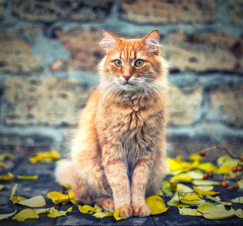big red cat sitting and looking forward Fotografía