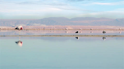 Flamingos in the Chaxa lagoon, Atacama Desert, Chile Footage