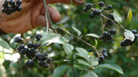 Harvest of aronia tree on a tree Footage