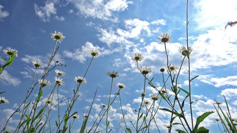 Chamomile Flowers Against Blue Sky Footage