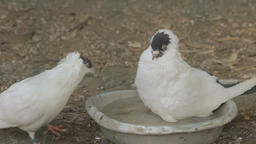 Two pigeons bathing in a bowl ビデオ
