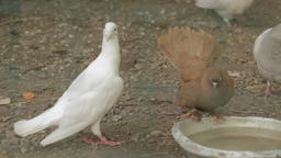 Pigeons drink water from bowl GIF