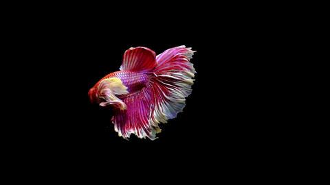 Siamese Half Moon Fighting Fish Betta Splendens Filmmaterial