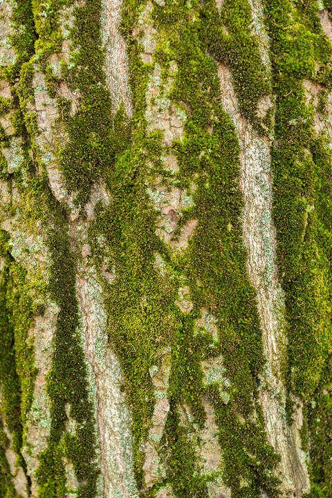 Background of the bark of a large tree Fotografía