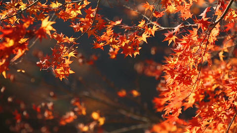 Red maple leaves fly from the tree under the pressure of the wind Footage