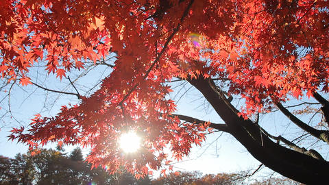 0263-1211278590-fAutumn Leaves / Fall Colors / Sunlight - Fix ビデオ