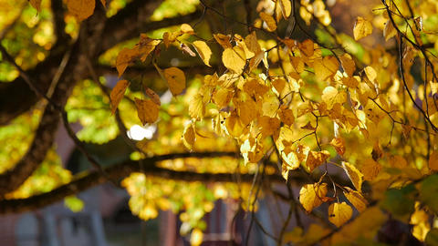 Yellow autumn leaf swaying in the wind Footage