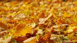Autumn falling leaves closeup ライブ動画