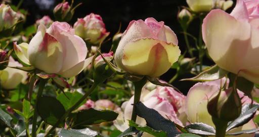 Roses blooming in Springtime Footage